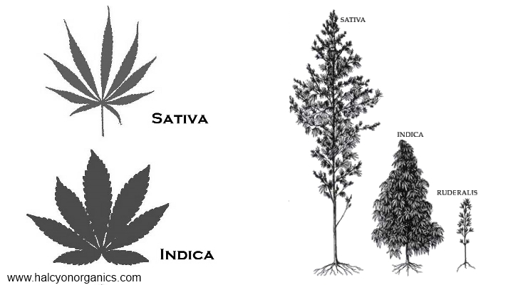 Cannabis Leaves Diagrams - Online Schematic Diagram •